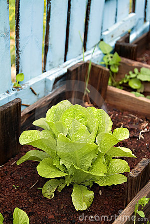 Organic lettuce in a Vegetable Garden