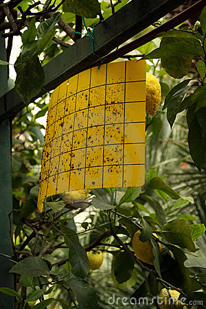 Organic protection in citrus fruit garden