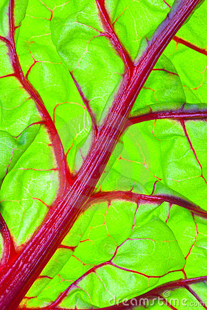 Organic Red Swiss Chard Leaf Detail