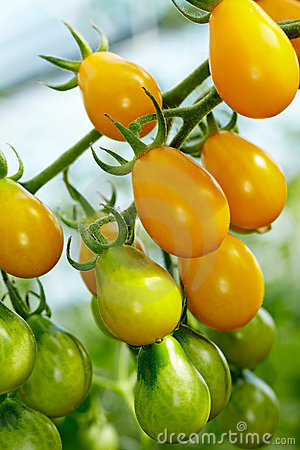 Organic Yellow Submarine tomatoes