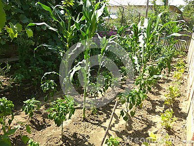 Organically cultivated growing corn and vegetables Stock Photo