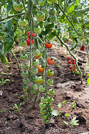 Organically grown cherry tomatoes