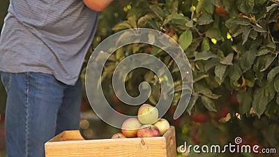Organiskt lantbruk som skördar frukt i trädgården Närbild av halvan kroppen, händer som river äpplen från filialerna och arkivfilmer