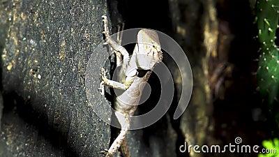 Orientał jaszczurki ogrodowych calotes versicolor obsiadanie na kamieniu zdjęcie wideo