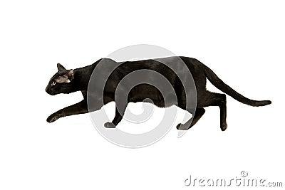 Oriental black cat