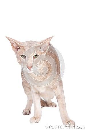 Oriental cat sitting on white