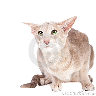Oriental cat sitting on white