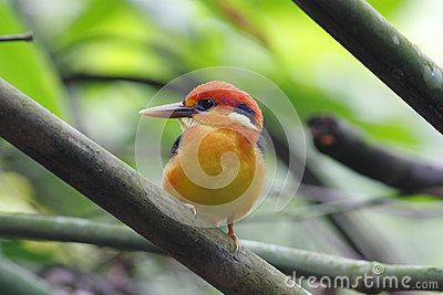 Oriental Dwarf Kingfisher Black-backed Kingfisher