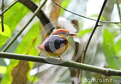 Oriental Dwarf Kingfisher Black-backed Kingfisher