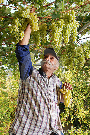 Oriental farmer vintner is harvesting white grape