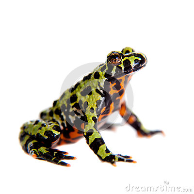 Free Oriental Fire-bellied Toad, Bombina Orientalis, On White Stock Photography - 65793312
