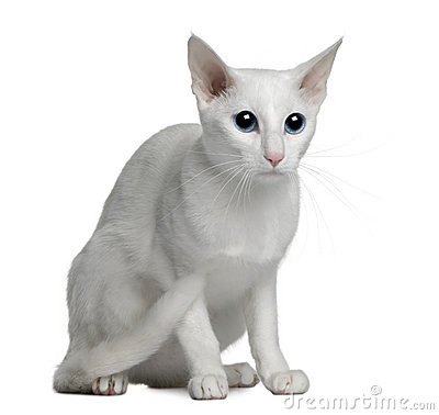 Oriental foreign white cat, 1 year old
