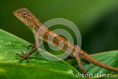 Oriental garden lizard-2