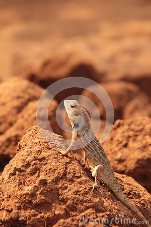 Free Oriental Garden Lizard In Wild Royalty Free Stock Images - 133556619