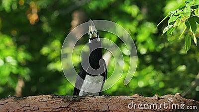 Oriental Pied-Hornbill - Anthracoceros albirostris grande ave que vive em copas das florestas pertencente às Bucerotidae Esperand filme