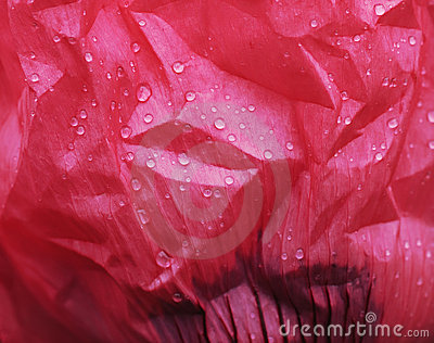 Oriental poppy flower petal with rain drops