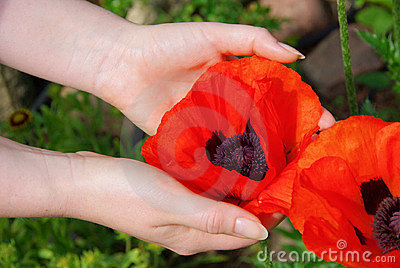 Oriental poppy in hands
