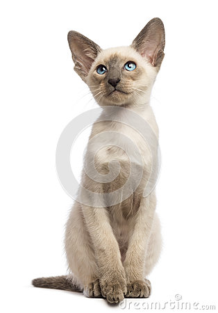 Oriental Shorthair kitten, 9 weeks old, looking