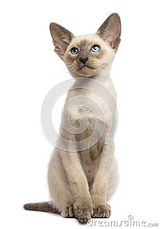 Oriental Shorthair kitten, 9 weeks old, looking