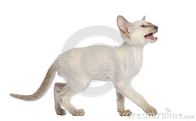 Oriental Shorthair kitten walking, looking up