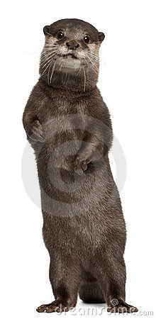 Free Oriental Small-clawed Otter, Amblonyx Cinereus Royalty Free Stock Photography - 17254727