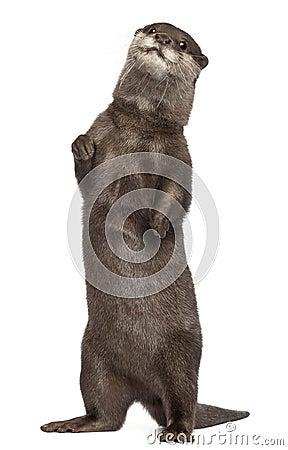 Oriental small-clawed otter, Amblonyx Cinereus