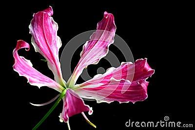 Oriental Star Lily