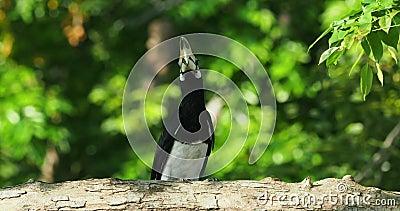 Orientalisch-Hornbill - Anthracoceros albirostris großer Vogel der Bucerotidae, Nistling Andere gebräuchliche Namen sind sunda stock video footage