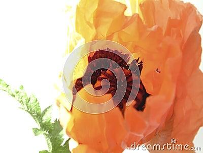 Orientalische Mohnblume