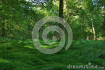 Original forest in Bialowiesa