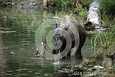 Orignaux du Montana