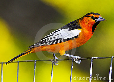 Oriole Perching on Wire Fence