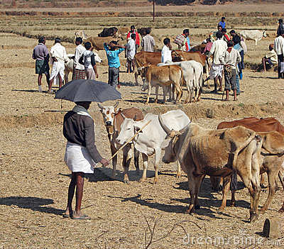 Orissa tribal rural cattle weekly market Editorial Photo