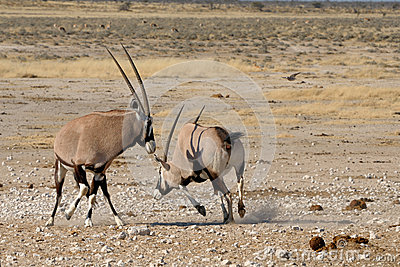 Orix (Gemsbok) fighting