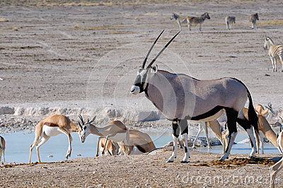 Orix (Gemsbok) and Springbok