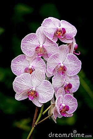 Orkidé