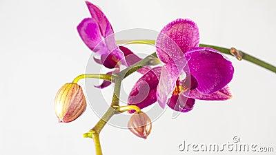 Orkidér som blommar på vit bakgrund arkivfilmer
