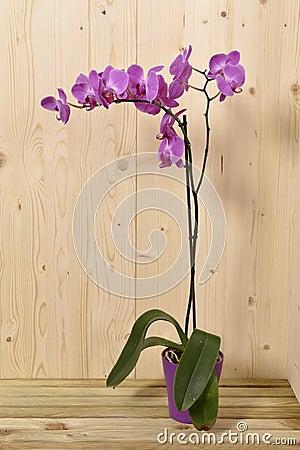 Orkidéblommor