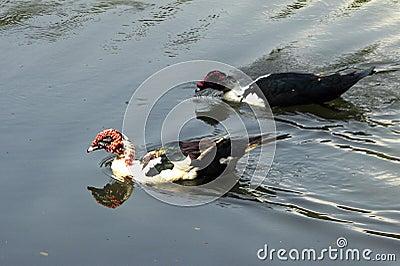 Ornamentacyjne kaczki