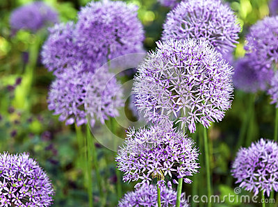 Ornamental  Allium