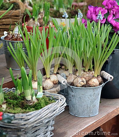 Ornamental bulbs in to the pots