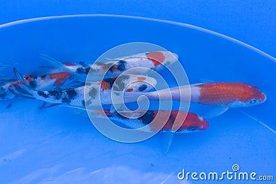 Ornamental fish pond for Ornamental carp fish