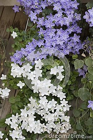 Ornamental flower, Campanula isophylla