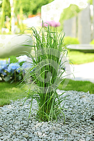 Ornamental grass in garden