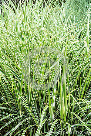 Ornamental grass for landscaping