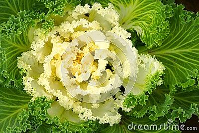 Ornamental green cabbage