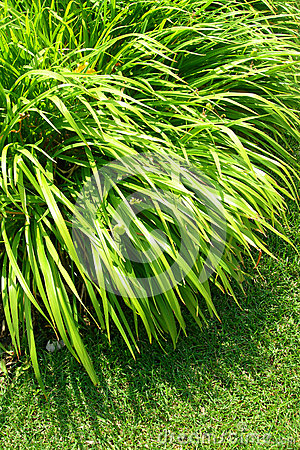 Ornamental green grass