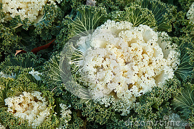 Ornamental kale in garden