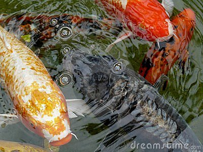 Ornamental koi carp fish