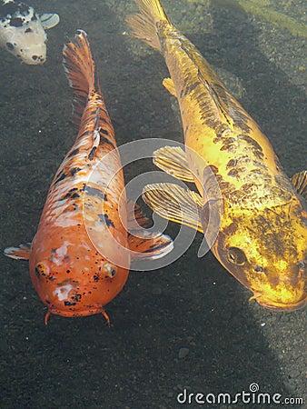 Koi carp black and white fish royalty free stock photos for Ornamental carp
